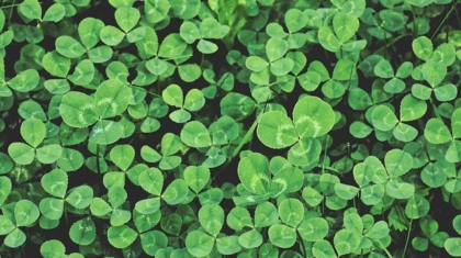 Cover Crops: Clover