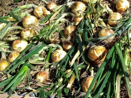onions 300sq