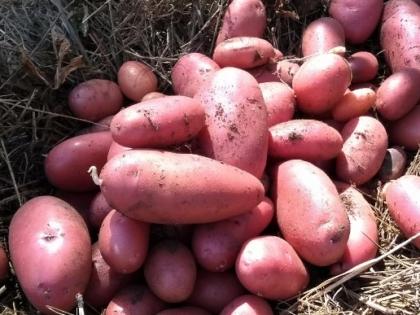 Desiree Potatoes
